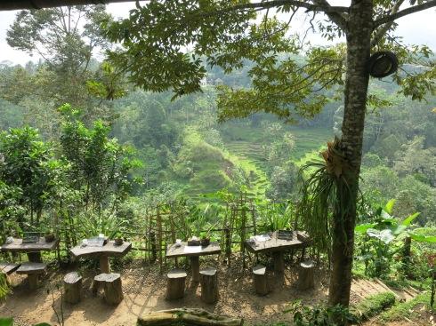 luwak and rice terraces