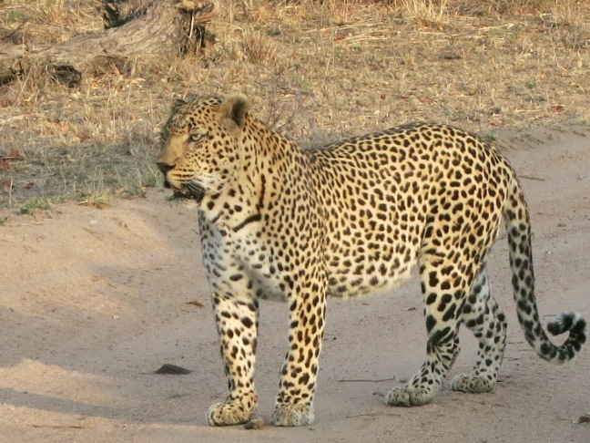 Leopard on safari at Leopard Hills